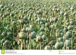 opium poppy royalty free stock images image 2258719