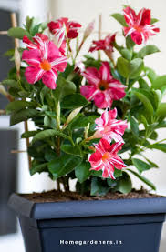 rocktrumpet care u2013 how to grow and care for mandevilla plant
