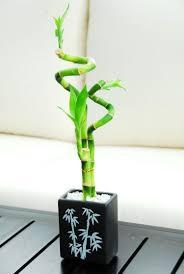 bambou feng shui bambou en pot et lucky bambou entretien et symbolique