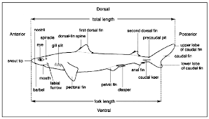 management techniques for elasmobranch fisheries