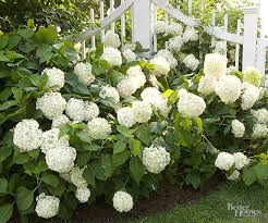 white hydrangea what is the best way to care for a snowball hydrangea that