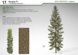 douglas fir tree xfrogplants douglas fir xfrog