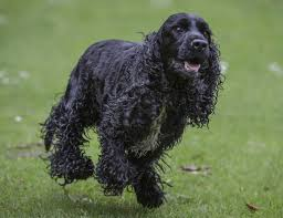 Do Brittany Spaniels Shed by A Wonderful List Of Dog Breeds That Are Easy To Train