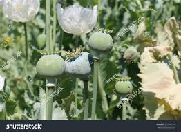 opium opium plant stock photo 279744374 shutterstock