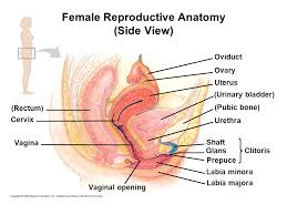 Female Sexual Anatomy Pictures Male Reproductive Anatomy Front View Ppt Video Online Download