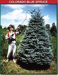 blue spruce colorado blue spruce wisconsin tree