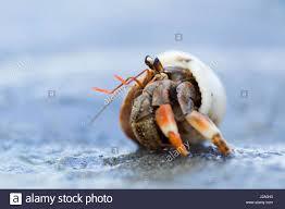 hermit crab beach stock photos u0026 hermit crab beach stock images