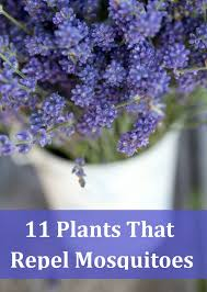 Fragrant Patio Plants - 11 fragrant plants that repel mosquitoes mosquito repelling