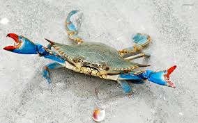 halloween crab blue crab pictures blue crab wallpaper 1920x1200 projects to