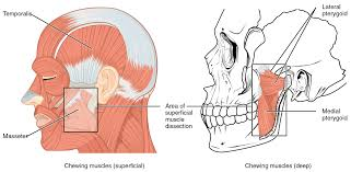 the human jaw anatomy image collections learn human anatomy image