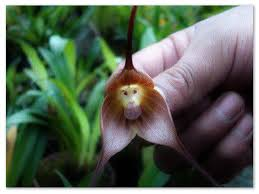 Monkey Orchid Monkey Orchid U2013 A Good Substitute For An Actual Monkey And