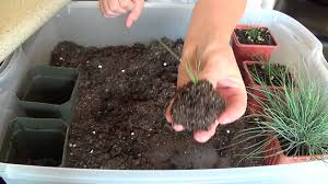 growing blue fescue from seed