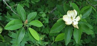 wholesale native plants sweetbay magnolia octoraro native plant nursery