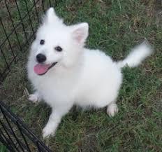american eskimo dog energy level view ad american eskimo dog dog for adoption georgia commerce usa