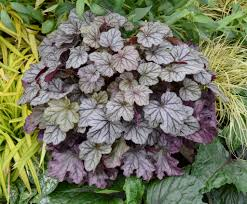 10 Perennials That Thrive In by Winning The Battle Perennials That Thrive In Shade Proven Winners
