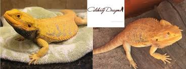 bdo list dragon morphs