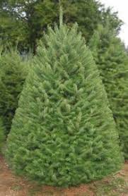 douglas fir christmas tree types of trees