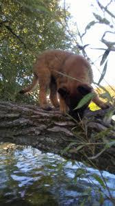 belgian shepherd stomach cancer groupe public belgian shepherd puppies in us u0026 canada facebook