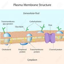 cell membrane structure resumess radiodigital co