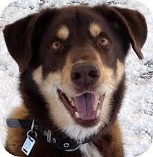 australian shepherd and husky mix cocoa adopted dog 14127d ithaca ny australian shepherd