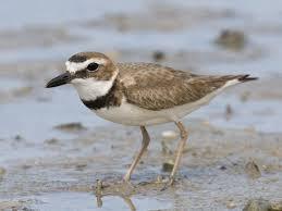 Louisiana birds images Birds of conservation concern audubon louisiana jpg