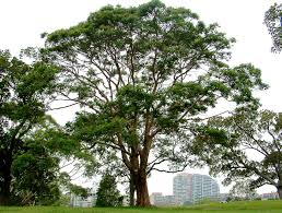 brisbane native plants brisbane box trees pinterest brisbane