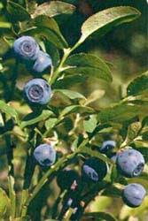 mirtillo in vaso le conserve a base di frutta mirtilli