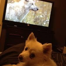american eskimo dog food 42 best american eskimo dog images on pinterest american eskimo
