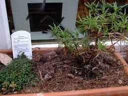 creeping thyme ground cover types care and propagation dengarden