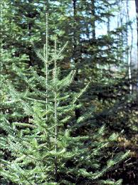 isu forestry extension tree identification balsam fir abies