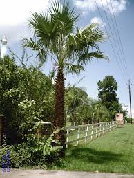 native plants for sale online palm tree sales online home
