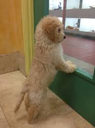 goldendoodle puppy treats mini goldendoodle i m in mini