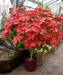 poinsettia tree poinsettia tree still growing this poinsettia tree in the flickr