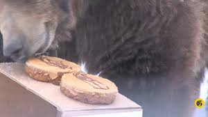Zoomontana S Grizzly Makes Super Bowl Prediction Ktvq Com Q2 - ozzy the grizzly bear predicts super bowl xlvi youtube
