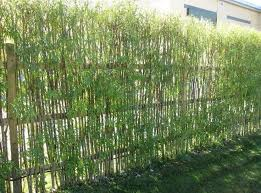 107 best bamboo images on bamboo garden clumping