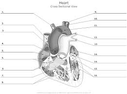 Anatomy And Physiology Labeling Unlabelled Diagram Of The Heart Free Download Clip Art Free