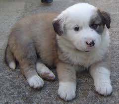 australian shepherd puppies 7 weeks cooper the australian shepherd golden retriever hybrid puppy at