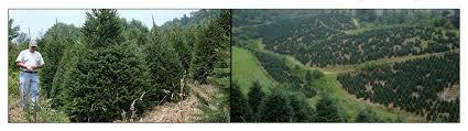 fraser fir christmas trees nc christmas tree farm
