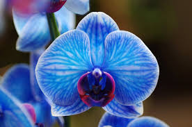 blue orchid flower yes blue orchid flowers can grow in a desert climate las