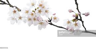 cherry blossom stock photos and pictures getty images