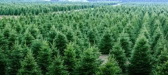premium trees wreaths greens roger s gardens