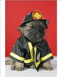 belgian sheepdog puppy cost buy belgian tervuren dog belgian tervuren dog book for costs