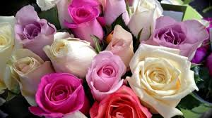 Colorful Roses Colorful Roses Flowers U0026 Nature Background Wallpapers On