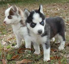 Bench Kelpie Puppies Sale Best 25 Micro Teacup Dogs Ideas On Pinterest Teacup Dogs