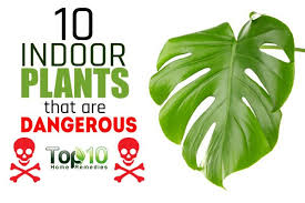 indoor plant 10 indoor plants that are poisonous and dangerous top 10 home remedies