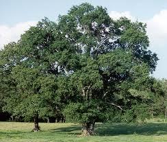 oak water quercus nigra oak f jpg 650 552 trees