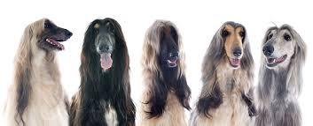 afghan hound dogs 101 europetnet afghan hound