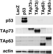 identification of flotillin 2 a major protein on lipid rafts as