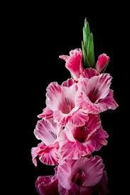 gladiolus flower gladiolus flower blossom free photo on pixabay