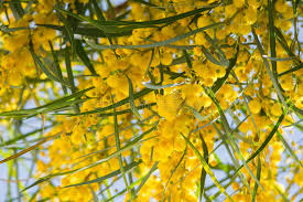 Tree With Bright Yellow Flowers - blossoming of mimosa tree acacia pycnantha golden wattle close up